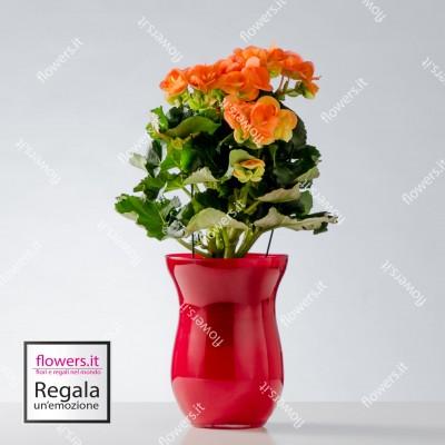 IL BUON AUSPICIO - Begonia