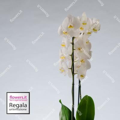 NOBILTA' - Orchidea...