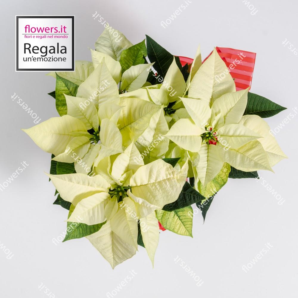 Foto Stella Di Natale.Stella Di Natale Bianca Consegna A Domicilio Flowers It